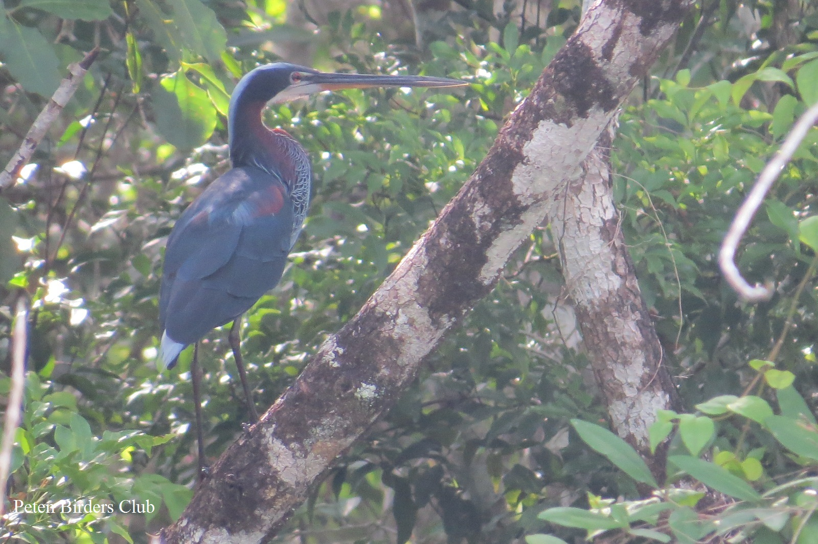 Birdwatching Around Peten Forest